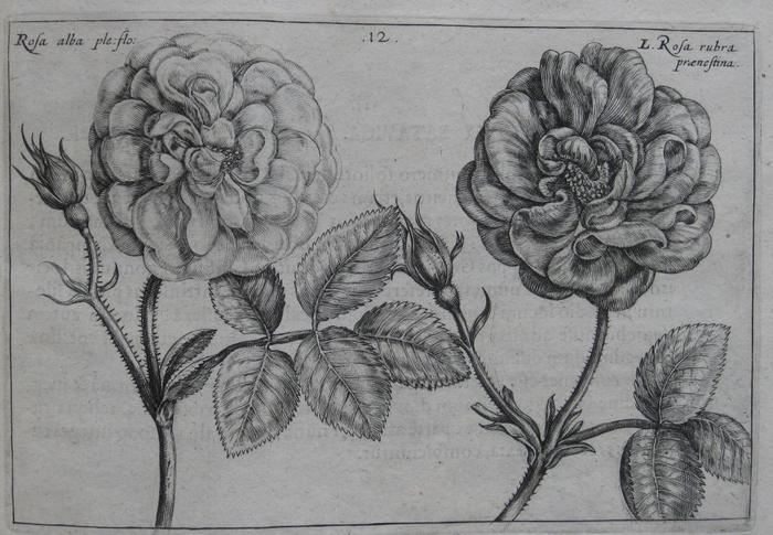 summerrose-5