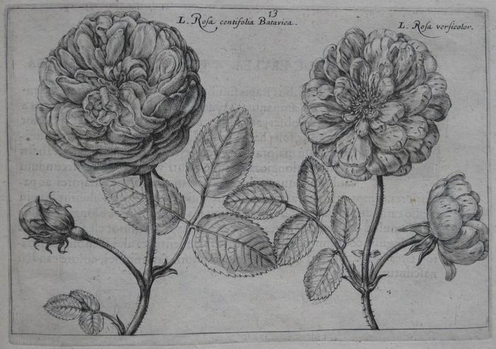summerrose-6